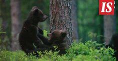Luontokuvaaja Jenny Stockin kamera vangitsi nuoruutensa huumassa telmivien karhunpentujen tuokion.