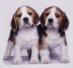 Beagles -- uh oh... TWO beagle puppies. Double the trouble but also double the CUTE!