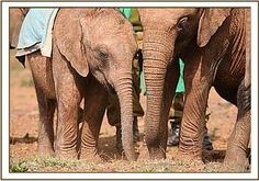 A strong friendship bond between Kenia & Siria #davidsheldrickwildlifetrust #elephants