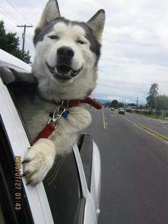 I miss my huskies :(