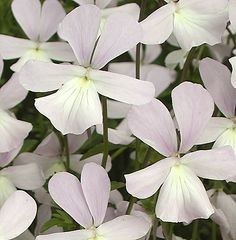 Viola cornuta 'Maiden's Blush' : An excellent new cultivar, probably a sport from V. c. 'Victoria Cawthorne'. Produces a mass of very pale blush-pink and cream flowers all summer. A lovely new colour.   (EG 2013)
