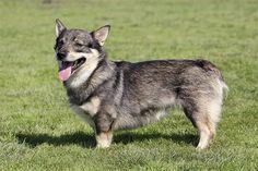 The Swedish Vallhund looks like a mini wolf corgi Spitz Dog Breeds, Rare Dog Breeds, Spitz Dogs, Cute Dogs Breeds, Pet Breeds, Herding Dogs, Purebred Dogs, Wolf Corgi, Dog Breeds Pictures