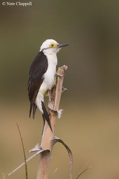 White Woodpecker - Ibera Marshes, Argentina by Nate Chappell, via 500px.