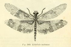 dessins scolaires zoologie - Dessins scolaires zoologie 499 libellule in dienne - Gravures, illustrations, dessins, images