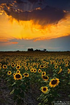 """""""Calling All Angels"""" - A recent shot of the sunflower fields in Denver Colorado at sunset -cow photography Beautiful World, Beautiful Places, Beautiful Pictures, Sunflower Fields, Mellow Yellow, Mother Earth, Champs, Wonders Of The World, Places To See"""