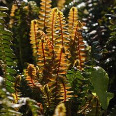 Find Cornish plants for every garden - Plant A-ZDuchy of Cornwall Nursery Ferns, Shrubs, Plant Leaves, Wall Gardens, Tropical, Nursery, It's Easy, Plants, Baby Room