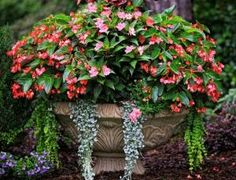Ingredients: Dragon Wing Begonias, New Guinea Impatiens, 'Silver Falls' Dichondra, Creeping jenny. Light Requirement: Morning sun and afternoon shade by shauna