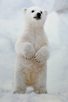 This curious polar bear is cute as can be!