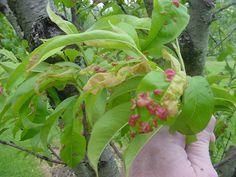 Peach leaf curl - spray fungicide in fall after leaf drop
