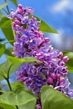 I grew up with an old Lilac tree in the city.Seems my roots and memories still linger with yearning with the sight of them~
