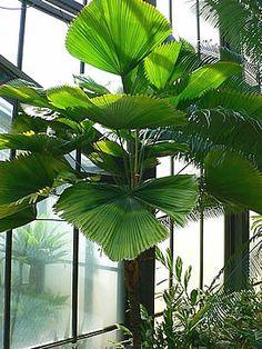 Tudo o que você precisa saber sobre Palmeira-leque - Licuala grandis , desde o plantio, manutenção, propagação da espécie, uso paisagístico e cuidados.