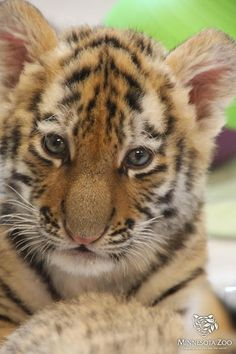 The Minnesota Zoo's Amur Tiger cubs born this past summer.