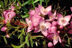 Boronia safrolifera http://anpsa.org.au/b-saf.html