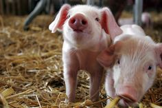 Your Daily Dose of Cute Piggies