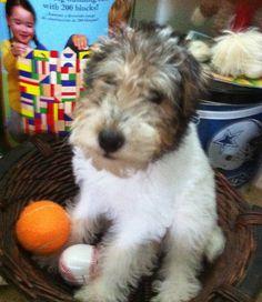 Mollie the Wire Fox Terrier