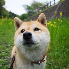 Pinを追加しました!/明日もいい一日になりますように。それでは、おやすみなさい #負けるな九州  #shiba #dog #komugi #柴犬 #日本犬 #赤柴 #shibainu #しばわんこ #柴犬大好き #わんこ #狗 #doge #shibe #shibastagram