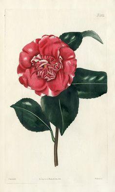 William Curtis Botanical Prints 1787-1826 - Chandler's new Camellia