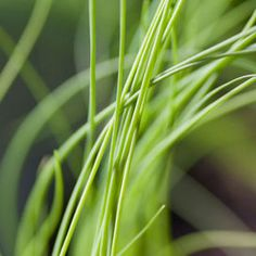 Quest'erba, particolarmente apprezzata in cucina, cresce bene anche in casa, l