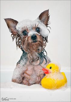 Even little dogs like their yellow ducky when they bathe!!