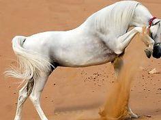 la naturaleza del caballo hermoso caballo blanco