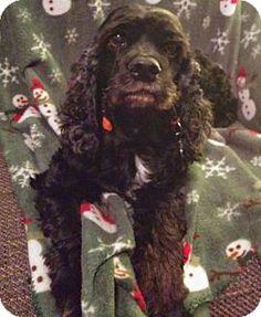 Houston, TX - Cocker Spaniel. Meet Clara, a dog for adoption. http://www.adoptapet.com/pet/11417024-houston-texas-cocker-spaniel (Gulf Coast Cocker Spaniel Rescue)