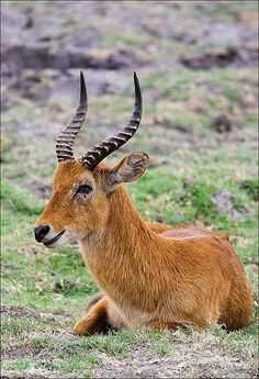 Puku. An African Antelope closely related to the Waterbuck.