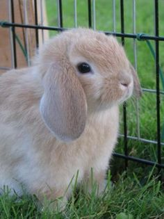 So now my daughter wants a bunny:0)  And she wants a Holland lop or mini lop.