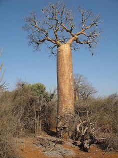 ) Baobab, Ifaty spiny forest, Madagascar