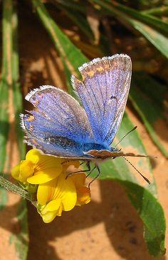 Chapmans Blue - Polyommatus thersites by Camerar, via Flickr