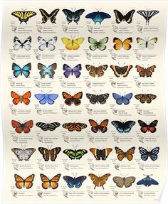 """Eleanor Lutz - """"I checked out six butterfly field guides from the library and picked out some of the species I thought were the most unique and beautiful. It's meant as a chart of decorative species illustrations rather than an educational infographic."""