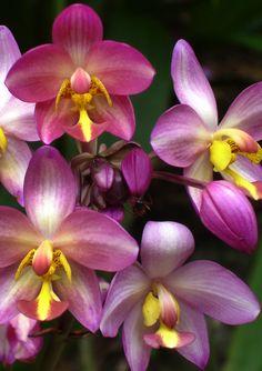 Orchidee (Villa Vizcaya. Miami, Florida).