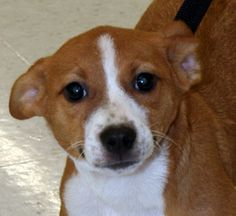 Piper Sweet Little Pup Great Size is an adoptable Terrier Dog in Rowayton, CT. Piper is a little tan and white pup.� she's about 3 months old and might mature to around 20 pounds.� Could be a Corgi Mi...