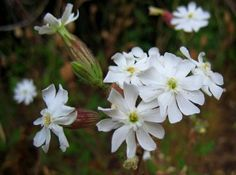 White campion (Silene latifolia), perennial, wasteland and hedge banks, flowers May June July August September October