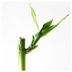 Dracaena Plant, Growing Flowers, Cut Flowers, Easy Care Plants, Bamboo Tree, Lucky Bamboo, Potted Plants, Recipes