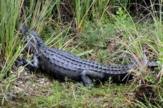 """Alligator at Everglades Holiday Park (from airboat), Home of TV production """"Gator Boys"""""""