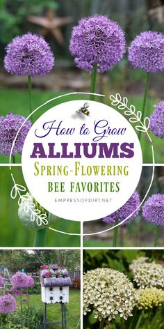 Alliums are beautiful spring-flowering bulbs that bees love. #gardening #growingtips #flowers #flowergarden #bulbs #empressofdirt
