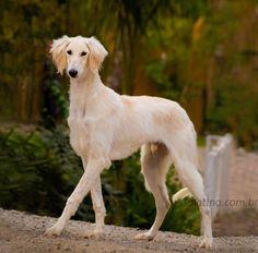 Salatino O Bem Amado Pl    #Saluki #Salatino #Dogs #dog #perro #cao #cachorro #animals #animales #animais #cute #love #baby