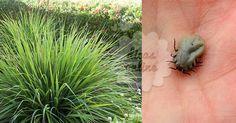 Fantástico! Exterminador natural acaba de vez com carrapatos e pulgas! - # #Exterminar #pulgasecarrapatos
