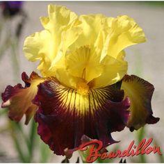 iris : PIRATE AHOY  - bourdillon