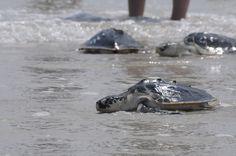 Marine Animal Rescue Team Blog: Pictures from Sea Turtle Trek: Swim, turtles, swim!