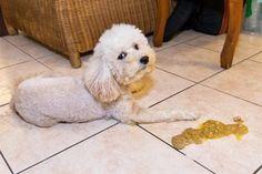 Wir verraten dir die häufigsten Gründe, warum dein Hund erbricht: Tricks, Dog Care, Vet Office, Poodle, Puppys, Hiking, Nursing Care