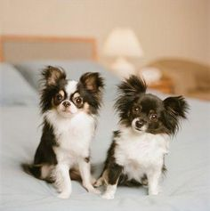 Adorable long haired chi chis