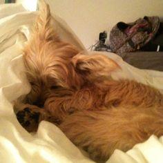 Sleepy Chorkie puppy. :)
