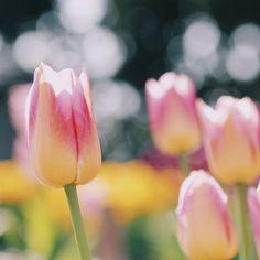 we select 6 worthy spots in Enoshima trip. Japan Info, Japanese Nature, Tulips, Garden, Flowers, Plants, Beautiful, Garten, Lawn And Garden