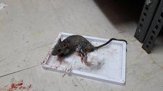 ΦΩΤΟΓΡΑΦΙΕΣ-ΣΟΚ (αφιερωμένες στον ...Πολάκη) από την ΠΟΕΔΗΝ! Ποντίκια μέσα στα νοσοκομεία...
