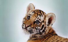 #tiger #eye #face #stripes #ear