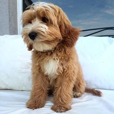 So Cute ....Chloe Labradoodles, Chloe, Southern, Dogs, Animals, Animals And Pets, Animaux, Doggies, Animal