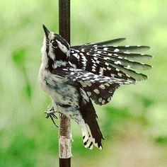 Wee Woodpecker #Woodpecker #wings #photography #photo #birding #birdwatching #bird #birds #birdsofinstagram #art #artist #nature #wild #love #catgraff