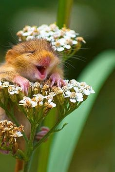 """THE LAUGHING DOORMOUSE"" New life goal: Find something that makes us as happy as this little guy."