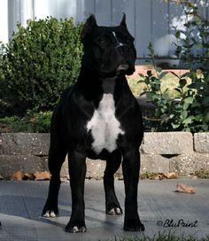 American Staffordshire Terrier // Bluprints Weekend Warrior | BLUPRINT KENNELS